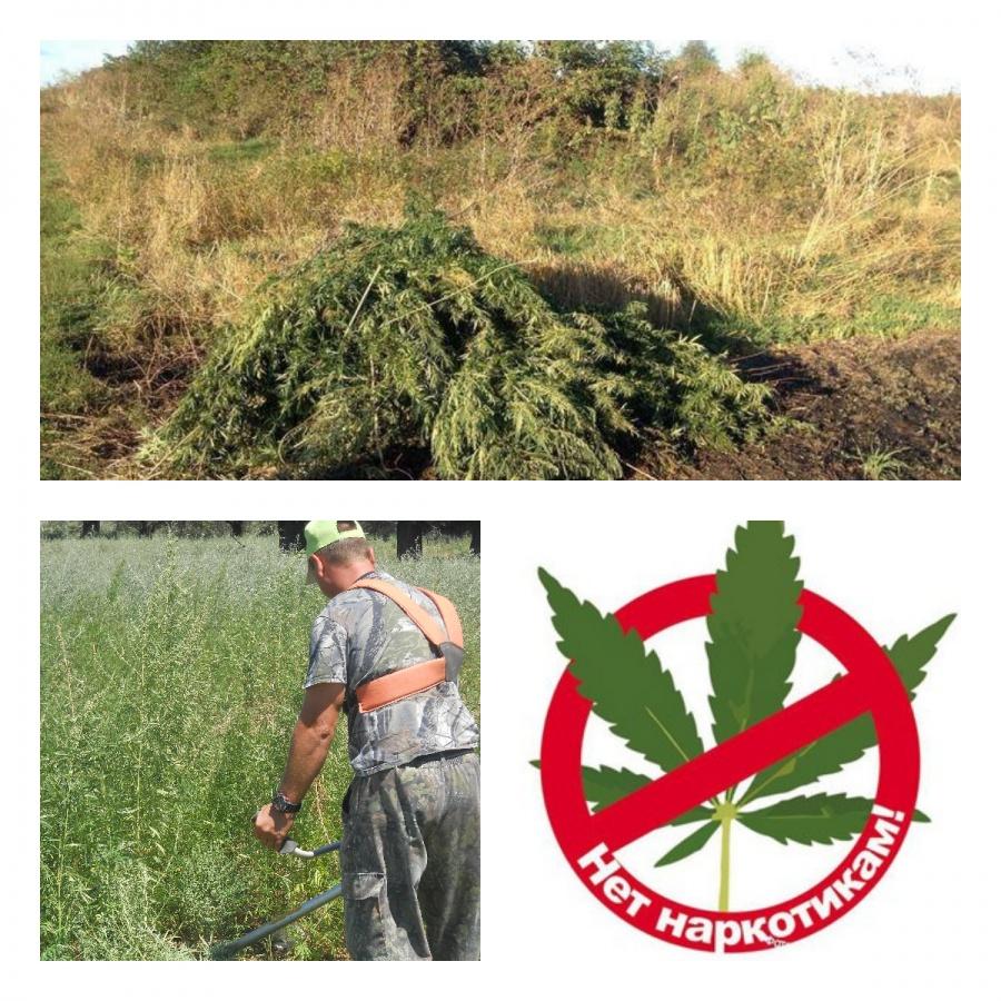 Борьба администрации с коноплей как посадить семечку марихуаны